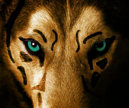13551955 - beautiful eyes of a wild wolf