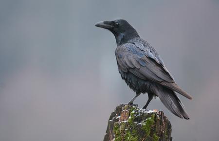 48737428 - raven (corvus corax)